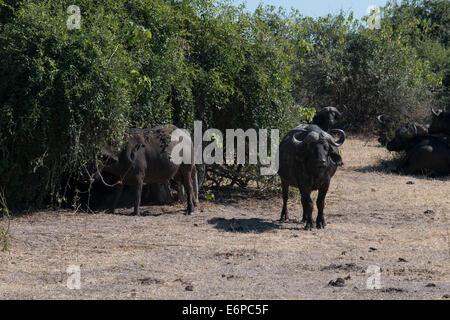 Buffle d'Afrique (Syncerus caffer) Deux hommes adultes, la course entre la voie à Savannah, South Luangwa N. P., Banque D'Images