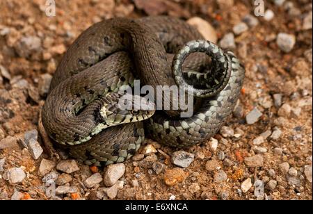 Une couleuvre à collier (Natrix natrix), de il enroulé, est un non-eurasien serpent venimeux. On le trouve souvent près de l'eau et se nourrit presque