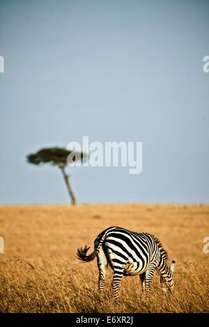 Seul un zèbre dans la savanne de la Masai Mara, Kenya, Afrique Banque D'Images