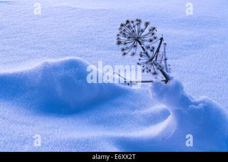Portrait de l'Angélique dans la neige Banque D'Images
