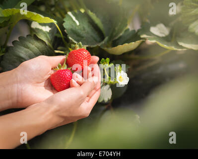 Close up of hands holding strawberries on fruit farm Banque D'Images