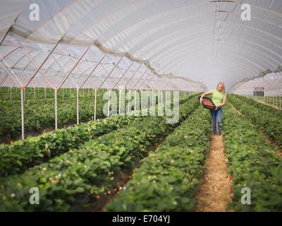 La cueillette des fraises en travailleur de polytunnel fruit farm Banque D'Images