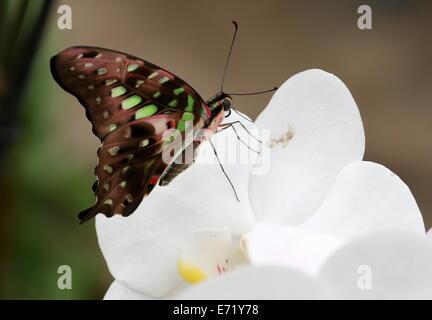 Vert queue Jay Butterfly (Graphium agamemnon) alias Triangle vert ou vert-spotted Triangle, posant sur une orchidée Banque D'Images