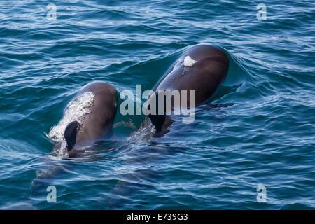 Le globicéphale noir (Globicephala macrorhynchus) vache et veau surfacing off Ile San Marcos, Baja California, Mexique Banque D'Images