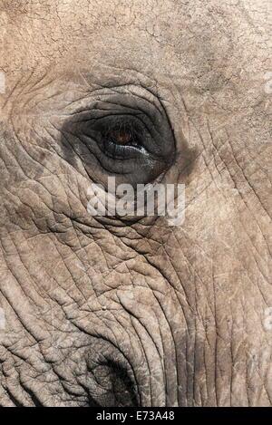 L'œil de l'éléphant africain (Loxodonta africana), l'Addo Elephant National Park, Afrique du Sud, l'Afrique Banque D'Images