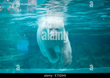 Anana, le résident de l'ours polaire femelle de Lincoln Park Zoo à Chicago, nage sous l'eau par une chaude journée d'été.