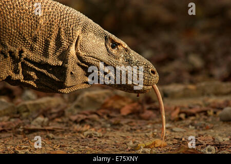 Dragon de Komodo (Varanus komodoensis), Rinca Island, le Parc National de Komodo, Indonésie Banque D'Images