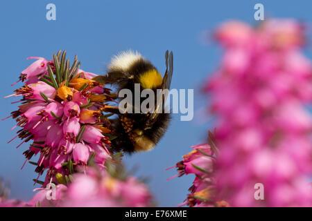 Le cerf de bourdon (Bombus terrestris) reine se nourrissant de Winter-flowering heather, Erica × darleyensis dans Banque D'Images