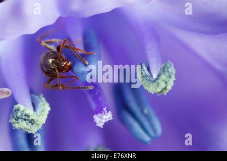 Ant Le Jardin noir (Lasius niger) travailleur adulte dans une fleur de jacinthe dans un jardin. Seaford, Sussex. Banque D'Images