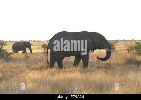 Deux éléphants africains dans les prairies d'or près de Bangolo, Kruger National Park, Afrique du Sud. Banque D'Images
