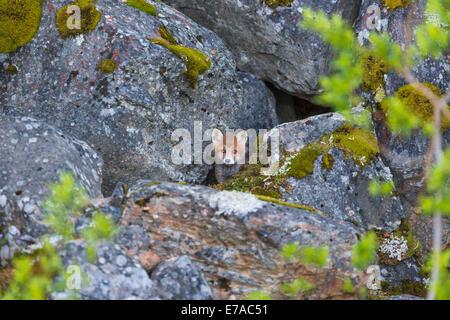 Chiot Redfox, Vulpes vulpes, à partir de son nid, Kvikkjokk, en Laponie suédoise, Suède Banque D'Images