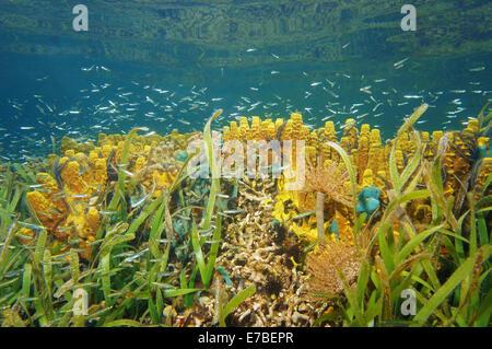 La vie sous-marine colorée dans un récif de corail de la mer des Caraïbes, le Panama Banque D'Images