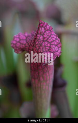 Close-up of North American Sarracenia purple pichet ou 'trompette pichets' plante avec entonnoir pour recueillir les insectes.
