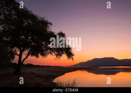 Coucher de soleil sur le fleuve Zambèze et Ana tree Banque D'Images