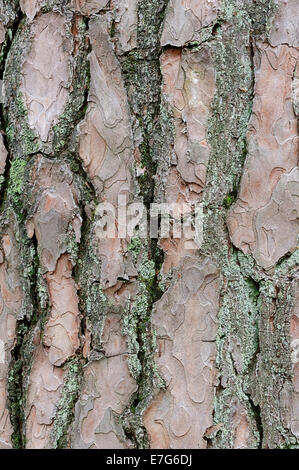 Le pin sylvestre (Pinus sylvestris), l'écorce, Pays-Bas Banque D'Images