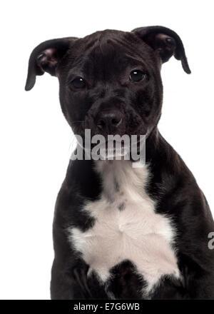 Portrait d'un American Staffordshire Terrier puppy (3 mois) contre fond blanc