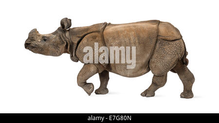 Indian rhinocéros à une corne, in front of white background