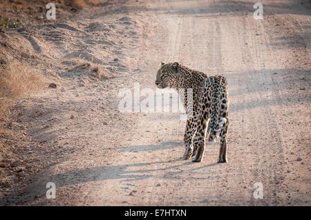 Léopard femelle photographiée en lumière du soir sur la piste du véhicule à Sabi Sands Game Reserve, Afrique du Sud