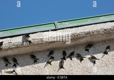 Maison commune, Martin Delichon urbicum, Hirundinidae, Civitella Alfedena, Abruzzo, Italie Banque D'Images