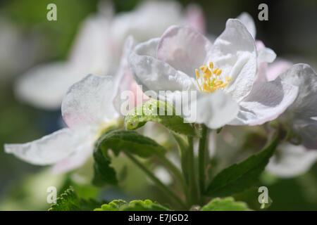 La question agraire, Apple, Apple Tree, fleur de pommier, s'épanouir, d'arbres, s'épanouir, de s'épanouir, flowerage, Banque D'Images