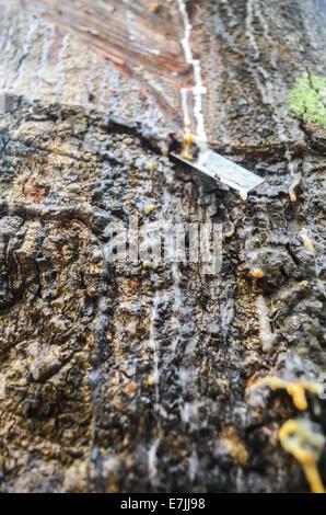 La collecte d'un latex hevea arbre dans la plantation de Firestone Natural Rubber Company au Libéria Banque D'Images