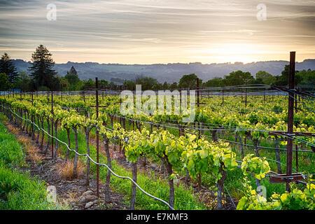 Coucher de soleil sur les vignes dans la région viticole de la Californie. Le Comté de Sonoma, en Californie