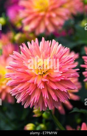 Dahlia 'Sunset'. Cactus Dahlia semi type. Banque D'Images