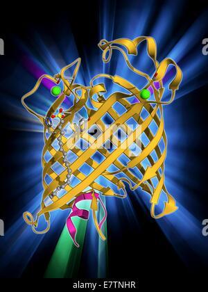 La membrane externe à la phospholipase A. Le modèle moléculaire de la protéine intégrale de membrane, la membrane externe de la phospholipase d'une bactérie Escherichia coli. Les phospholipases sont des enzymes qui catalysent la répartition des phospholipides dans les acides gras. Dans E. coli phos