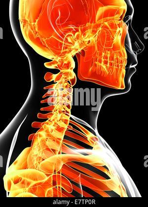 Crâne humain et l'os du cou, de l'oeuvre de l'ordinateur. Banque D'Images