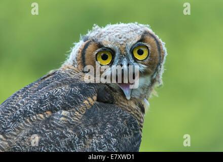 Grand-duc d'Amérique (Bubo virginianus), jeune oiseau, captive, Allemagne Banque D'Images
