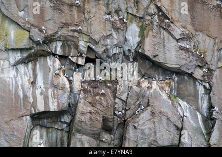 La Mouette tridactyle (Rissa tridactyla) roost sur une paroi rocheuse verticale, sur une île de Kenai Fjords National Banque D'Images