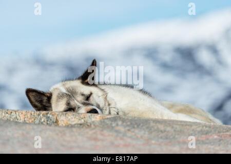 Chien de Traîneau endormi sur un rocher. Ilulissat, Groenland. Banque D'Images