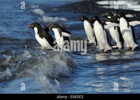 Groupe de manchots (Pygoscelis adeliae) entrer dans la mer, Le Cap Adare, Antarctique.