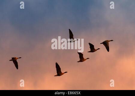 Southport, Lancashire. 1er octobre 2014. Vol d'oies à bec court, pelote d'oies au lever du soleil près de Martin Banque D'Images