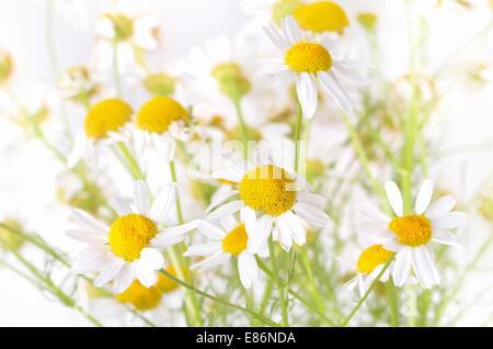 Fleurs de camomille sur fond blanc, vue en gros, faible profondeur de champ Banque D'Images