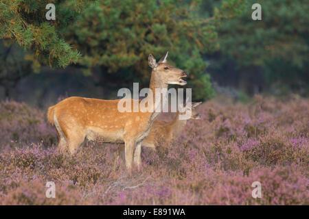 Red Deer femelle et veau Banque D'Images