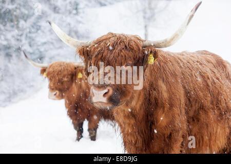 Scottish Highland cattle dans la neige, Brandenberg, Tyrol, Autriche Banque D'Images