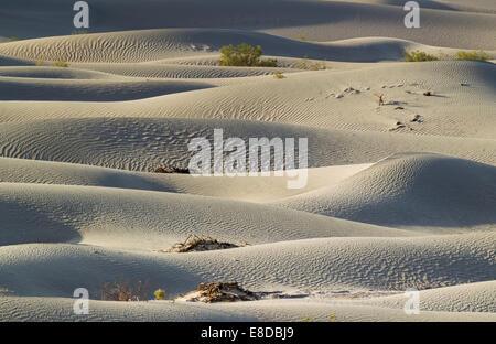 Les Mesquites Miel (Prosopis glandulosa torreyana) sur la télévision Mesquite Sand Dunes tôt le matin, la vallée de la mort