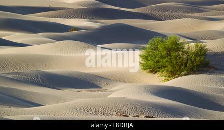 Le miel d'arbres mesquite (Prosopis glandulosa torreyana) sur la télévision Mesquite Sand Dunes tôt le matin, la vallée de la mort