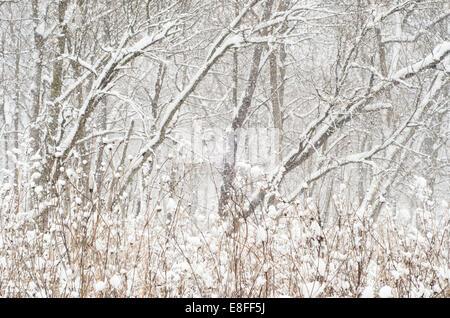 États-unis, Illinois, comté de DuPage, Woods en chute de neige Banque D'Images