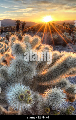 États-unis, Californie, Joshua Tree National Park, Cholla cactus sunrise