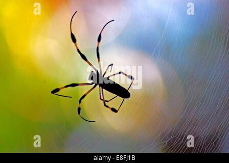 Golden Orb Spider sur un web araignée, Orlando, Orange County, Floride, États-Unis Banque D'Images