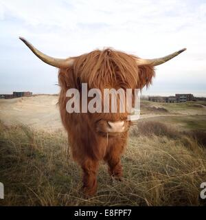 Scottish Highland cow standing dans un champ, en Hollande Banque D'Images