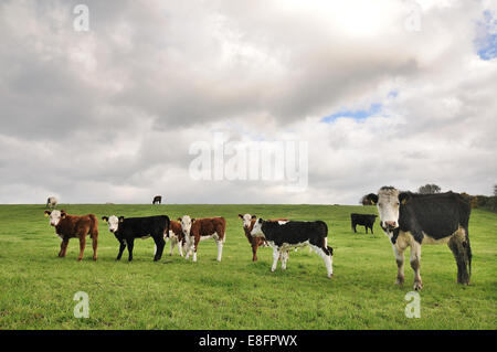 Photo de vaches qui paissent sur terrain Banque D'Images