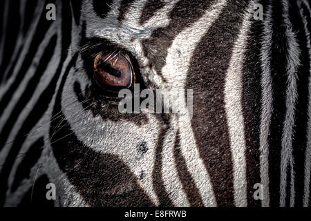 Close-up of a Zebra's eye Banque D'Images
