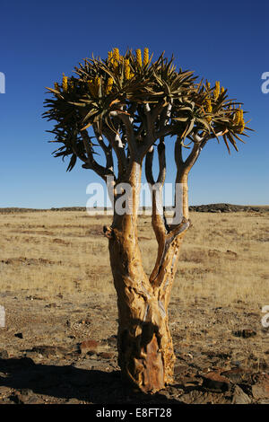 Les carquois tree in desert, Namibie Banque D'Images