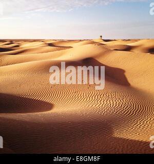 Arbre solitaire dans le désert du Sahara, Maroc Banque D'Images