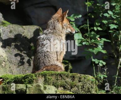 Le Chacal commun ou d'or (Canis aureus)