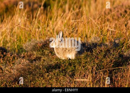 Middleham, North Yorkshire, UK. 12 octobre, 2014. Météo britannique. Lièvre en heather sur Witton Moor. Credit: Banque D'Images