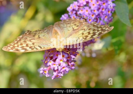 Le monarque (Danaus plexippus) sur des fleurs de jardin Banque D'Images